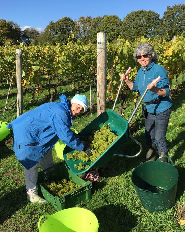 UK wine vineyard in Suusex