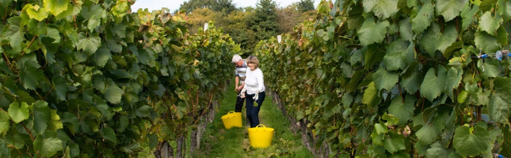 English wine maker in Sussex